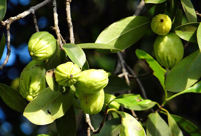 Garcinia-Cambogia-träd